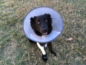 Spaying or Neutering Your Dog