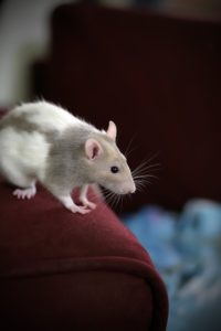 Why Rats Make Fantastic Pets