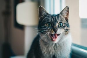 How to Care for Your Cat's Teeth